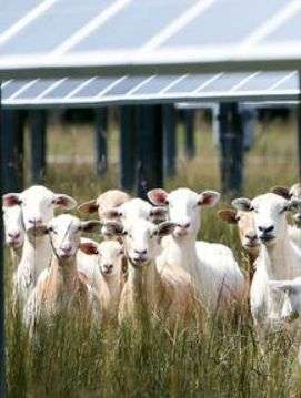 Solar Sheep Under Panels