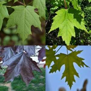 October Tree Of The Month: Sugar Maple (Acer Saccharum) By Mort Schmidt